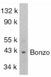 CXCR6 Antibody - Western blot of Bonzo in SW1353 total cells lysate with Bonzo antibody at 1:1000 dilution.