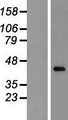 CXXC5 Protein - Western validation with an anti-DDK antibody * L: Control HEK293 lysate R: Over-expression lysate