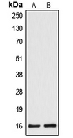 Western blot analysis of Cytochrome b5A expression in HepG2 (A); HeLa (B) whole cell lysates.