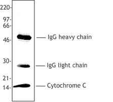 Cytochrome c was immunoprecipitated from Hela cell extract (1% NP-40) using 2-4 ug 6H2. B4 antibody/1 x107 cell equivalents. Immunoprecipitates were resolved by electrophoresis, transferred to nitrocellulose, and probed with the 7H8.2C12 anti-cytochrome c antibody. Proteins were visualized using a goat anti-mouse secondary conjugated to HRP and a chemiluminescence detection system. In addition to the specific 15 kD cytochrome c band immunoprecipitated by 6H2. B4, heavy and light immunoglobulin chains are recognized by the goat anti-mouse secondary antibody.