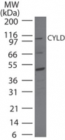 Western blot of CYLD in HeLa cell lysate using antibody at 2 ug/ml.