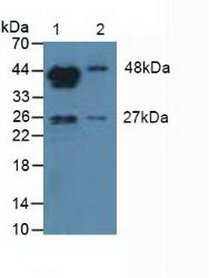 Western Blot; Sample: Lane1: Mouse Testis Tissue; Lane2: Mouse Placenta Tissue.