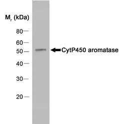 Western blot of human placenta extract probed with Mouse anti-Human Cytochrome P450 Aromatase followed by F(ab')2 Rabbit anti-Mouse IgG:HRP