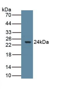 Western Blot Sample: Recombinant ARO, Rat