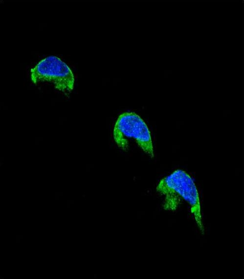 CYP1A2 Antibody - Confocal immunofluorescence of CYP1A2 Antibody with 293 cell followed by Alexa Fluor 488-conjugated goat anti-rabbit lgG (green). DAPI was used to stain the cell nuclear (blue).
