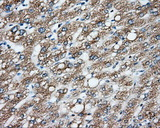 IHC of paraffin-embedded liver tissue using anti-CYP1A2 mouse monoclonal antibody. (Dilution 1:50).