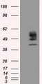 HEK293T cells were transfected with the pCMV6-ENTRY control (Left lane) or pCMV6-ENTRY CYP1A2 (Right lane) cDNA for 48 hrs and lysed. Equivalent amounts of cell lysates (5 ug per lane) were separated by SDS-PAGE and immunoblotted with anti-CYP1A2.