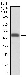 Western blot using CYP3A4 monoclonal antibody against human CYP3A4 (AA: 243-430) recombinant protein. (Expected MW is 47.5 kDa)
