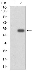 Western blot using CYP3A4 monoclonal antibody against HEK293 (1) and CYP3A4 (AA: 243-430)-hIgGFc transfected HEK293 (2) cell lysate.