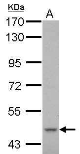 Sample (30 ug of whole cell lysate) A: THP-1 7.5% SDS PAGE CYP51A1 antibody diluted at 1:1000