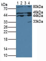 Western Blot; Sample: Lane1: Human Jurkat Cells; Lane2: Human Raji Cells; Lane3: Human K562 Cells; Lane4: Porcine Brain Tissue.
