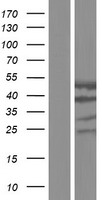 CYTH1 / Cytohesin-1 Protein - Western validation with an anti-DDK antibody * L: Control HEK293 lysate R: Over-expression lysate