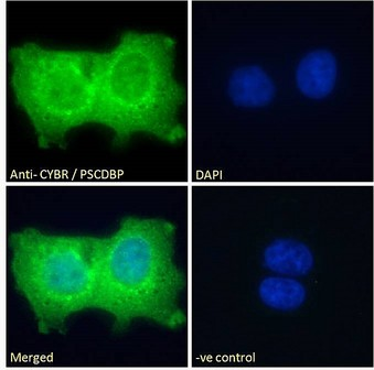Goat Anti-CYBR / PSCDBP Antibody Immunofluorescence analysis of paraformaldehyde fixed A431 cells, permeabilized with 0.15% Triton. Primary incubation 1hr (10ug/ml) followed by Alexa Fluor 488 secondary antibody (2ug/ml), showing cytoplasmic and nuclear staining. The nuclear stain is DAPI (blue). Negative control: Unimmunized goat IgG (10ug/ml) followed by Alexa Fluor 488 secondary antibody (2ug/ml).