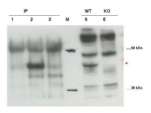 Western blot using the affinity purified anti-Cybr antibody shows detection of endogenous Cybr from mouse splenocytes using anti-Cybr antibody to immunoprecipitate and western blot (lanes 1-3). Lane 1 shows reactivity of pre-immune sera. Lane 2 shows endogenous Cybr detected with antibody. Lane 3 shows no band detected in lysates prepared from splenocytes of Cybr knock-out mouse. Lane 5 shows direct western blot of wt splenocytes. Lane 6 shows direct western blot of knock out mouse.