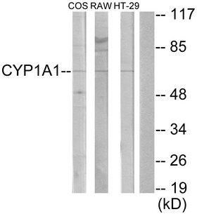 Cytochrome P450 CYP1A1/2 Antibody - Western blot analysis of lysates from COS7, RAW264.7, and HT-29 cells, using Cytochrome P450 1A1/2 Antibody. The lane on the right is blocked with the synthesized peptide.
