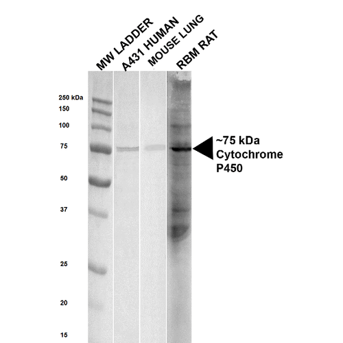 Cytochrome P450 Reductase Antibody - Western blot analysis of Human, Mouse, Rat Human, Mouse and Rat Lysates showing detection of ~ 75 kDa Cytochrome P450 Reductase protein using Rabbit Anti-Cytochrome P450 Reductase Polyclonal Antibody. Lane 1: MW ladder. Lane 2: Human lysate,  A431. Lane 3: Mouse lung lysate.  Lane 4: Rat lysate, Rat Brain Membrane (RBM). Load: 20 µg. Block: 5% milk + TBST for 1 hour at RT. Primary Antibody: Rabbit Anti-Cytochrome P450 Reductase Polyclonal Antibody  at 1:1000 for 1 hour at RT. Secondary Antibody: Goat Anti-Rabbit HRP antibody at 1:2000 for 1 hour at RT. Color Development: TMB solution for 11 min at RT. Predicted/Observed Size: ~ 75 kDa. Other Band(s): ~30 -250 in Rat lysate only.