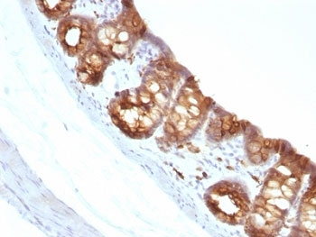 Cytokeratin 1+8 Antibody - Formalin-fixed, paraffin-embedded rat colon stained with Keratin 18 antibody (KRT18/1190).  This image was taken for the unmodified form of this product. Other forms have not been tested.