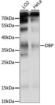 D-Binding Protein / DBP Antibody - Western blot analysis of extracts of various cell lines, using DBP antibody at 1:1000 dilution. The secondary antibody used was an HRP Goat Anti-Rabbit IgG (H+L) at 1:10000 dilution. Lysates were loaded 25ug per lane and 3% nonfat dry milk in TBST was used for blocking. An ECL Kit was used for detection and the exposure time was 15S.