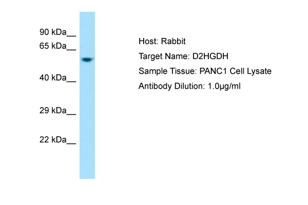 D2HGDH Antibody -  This image was taken for the unconjugated form of this product. Other forms have not been tested.