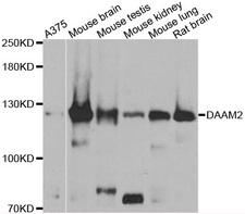DAAM2 Antibody - Western blot analysis of extracts of various cell lines.