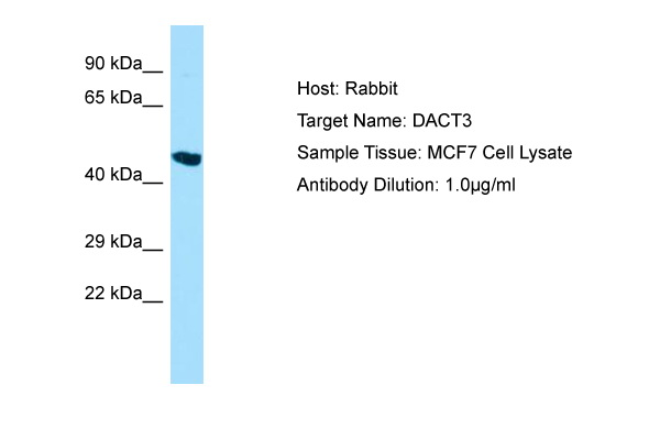 DACT3 Antibody -  This image was taken for the unconjugated form of this product. Other forms have not been tested.