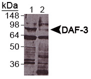 daf-3 Antibody - Detection of DAF-3 in wt C. elegans. Primary dilution 1:1000. 3 min. ECL exposure. Lane 1: wild worm type Lane 2: DAF-3 deletion worms.
