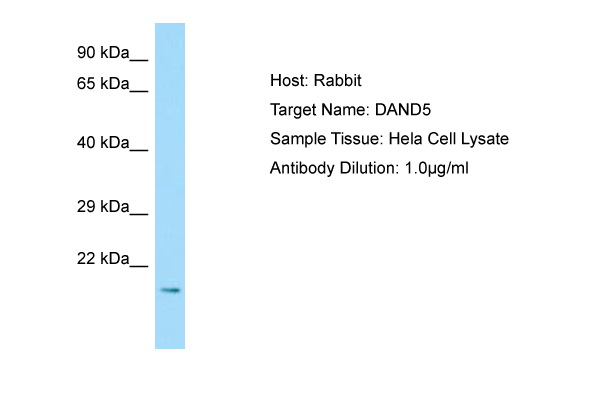 DAND5 Antibody -  This image was taken for the unconjugated form of this product. Other forms have not been tested.
