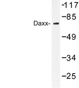 DAXX Antibody - Western blot of Daxx (D384) pAb in extracts from 293 cells.