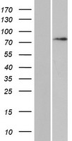 DAXX Protein - Western validation with an anti-DDK antibody * L: Control HEK293 lysate R: Over-expression lysate