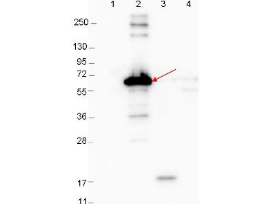 DbpA Antibody - Western blot showing detection of 0.1 µg recombinant proteins in western blot. Lane 1: Molecular weight markers. Lane 2: MBP-DbpA fusion protein (arrow; expected MW: 60.9 kDa). Lane 3: DbpA, MBP removed by TEV cleavage. Lane 4: MBP alone. Protein was run on a 4-20% gel, then transferred to 0.45 µm nitrocellulose. After blocking with 1% BSA-TTBS overnight at 4°C, primary antibody was used at 1:1000 at room temperature for 30 min. HRP-conjugated Goat-Anti-Rabbit secondary antibody was used at 1:40,000 in MB-070 blocking buffer and imaged on the VersaDoc MP 4000 imaging system (Bio-Rad).