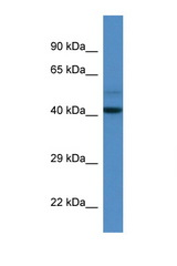 DCAF7 / WDR68 antibody LS-C135268 Western blot of Mouse Spleen lysate. Antibody concentration 1 ug/ml.  This image was taken for the unconjugated form of this product. Other forms have not been tested.
