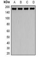 DCTN1 / Dynactin 1 Antibody - Western blot analysis of Dynactin 1 expression in HeLa (A); HepG2 (B); mouse brain (C); mouse lung (D) whole cell lysates.