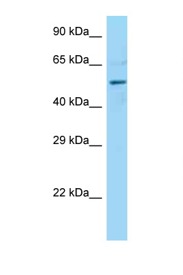 DCTN4 antibody LS-C146360 Western blot of Mouse Heart lysate. Antibody concentration 1 ug/ml.  This image was taken for the unconjugated form of this product. Other forms have not been tested.