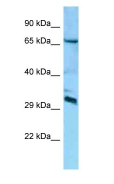 DCUN1D4 antibody Western Blot of Mouse Brain.  This image was taken for the unconjugated form of this product. Other forms have not been tested.