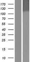 DDB1 Protein - Western validation with an anti-DDK antibody * L: Control HEK293 lysate R: Over-expression lysate