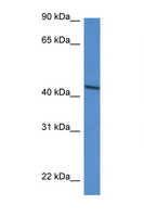 DDO / D-Aspartate Oxidase Antibody - DDO antibody Western blot of HepG2 Cell lysate. Antibody concentration 1 ug/ml.  This image was taken for the unconjugated form of this product. Other forms have not been tested.