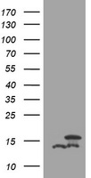 HEK293T cells were transfected with the pCMV6-ENTRY control (Left lane) or pCMV6-ENTRY DDT (Right lane) cDNA for 48 hrs and lysed. Equivalent amounts of cell lysates (5 ug per lane) were separated by SDS-PAGE and immunoblotted with anti-DDT.