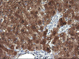 IHC of paraffin-embedded Human liver tissue using anti-DDT mouse monoclonal antibody. (Heat-induced epitope retrieval by 10mM citric buffer, pH6.0, 120°C for 3min).