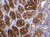 IHC of paraffin-embedded Human Kidney tissue using anti-DDT mouse monoclonal antibody.