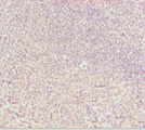 Immunohistochemistry of paraffin-embedded human tonsil tissue at dilution 1:100