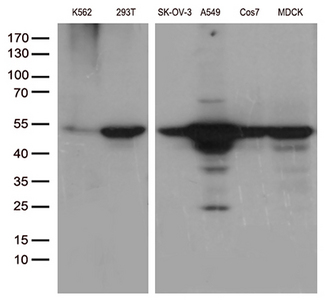 DDX39B / UAP56 Antibody - Western blot analysis of extracts. (35ug) from different 6 cell lines lysates by using anti-DDX39B monoclonal antibody. (1:500)