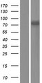 DDX43 Protein - Western validation with an anti-DDK antibody * L: Control HEK293 lysate R: Over-expression lysate