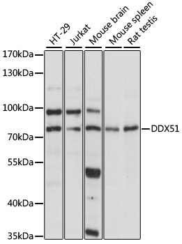 DDX51 Antibody - Western blot analysis of extracts of various cell lines, using DDX51 antibody at 1:1000 dilution. The secondary antibody used was an HRP Goat Anti-Rabbit IgG (H+L) at 1:10000 dilution. Lysates were loaded 25ug per lane and 3% nonfat dry milk in TBST was used for blocking. An ECL Kit was used for detection and the exposure time was 5s.