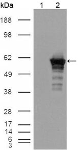 Western blot using Desmin mouse monoclonal antibody against HEK293T cells transfected with the pCMV6-ENTRY control (1) and pCMV6-ENTRY Desmin cDNA (2).