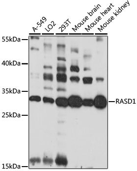 Dexras1 / RASD1 Antibody - Western blot analysis of extracts of various cell lines, using RASD1 antibody at 1:1000 dilution. The secondary antibody used was an HRP Goat Anti-Rabbit IgG (H+L) at 1:10000 dilution. Lysates were loaded 25ug per lane and 3% nonfat dry milk in TBST was used for blocking. An ECL Kit was used for detection and the exposure time was 30s.