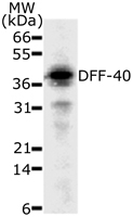Western blot of 30 ug of HeLa cell lysate with antibody at a dilution of 2 ug/ml.