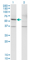 Western Blot analysis of DFNA5 expression in transfected 293T cell line by DFNA5 monoclonal antibody (M01), clone 1E10.Lane 1: DFNA5 transfected lysate (Predicted MW: 54.6 KDa).Lane 2: Non-transfected lysate.