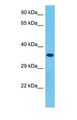 Western blot of DFNA5 Antibody with human 293T Whole Cell lysate.  This image was taken for the unconjugated form of this product. Other forms have not been tested.