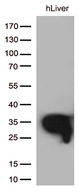 DHRS1 Antibody - Western blot analysis of extracts. (35ug) from 1 tissue lysate by using anti-DHRS1 monoclonal antibody. (1:500)