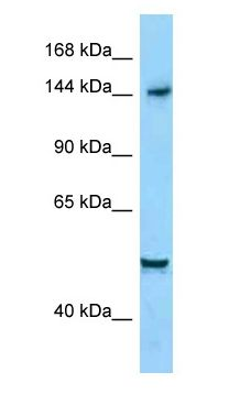 DIAPH1 antibody Western Blot of HepG2.  This image was taken for the unconjugated form of this product. Other forms have not been tested.